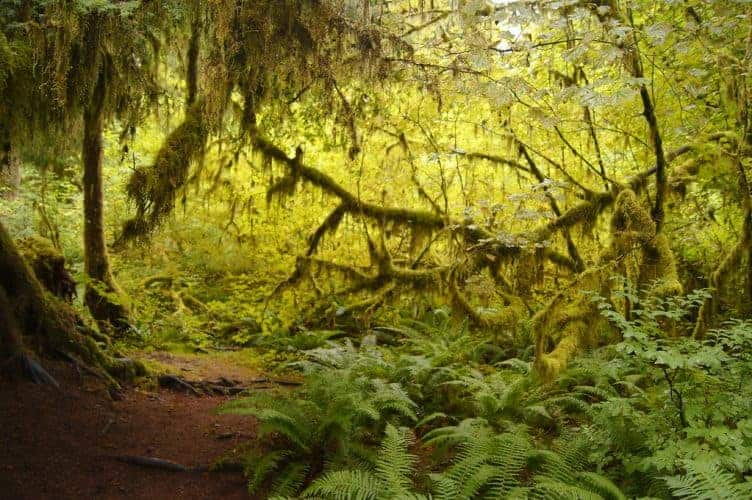 Hoh Rain Forest Hall Of Moss